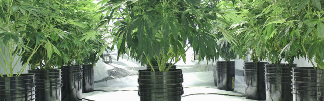 Cover Cannabis Hydrophonic Shops Page Banner - Cannabis Trees on Plastic Pots