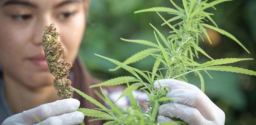 Marijuana Plant Check Oklahoma