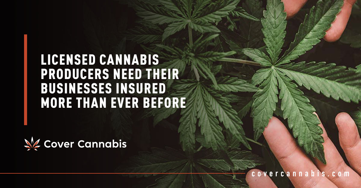 Hands Holding Cannabis Leaves - Banner Image for Licensed Cannabis Producers Need Their Businesses Insured More Than Ever Before Blog