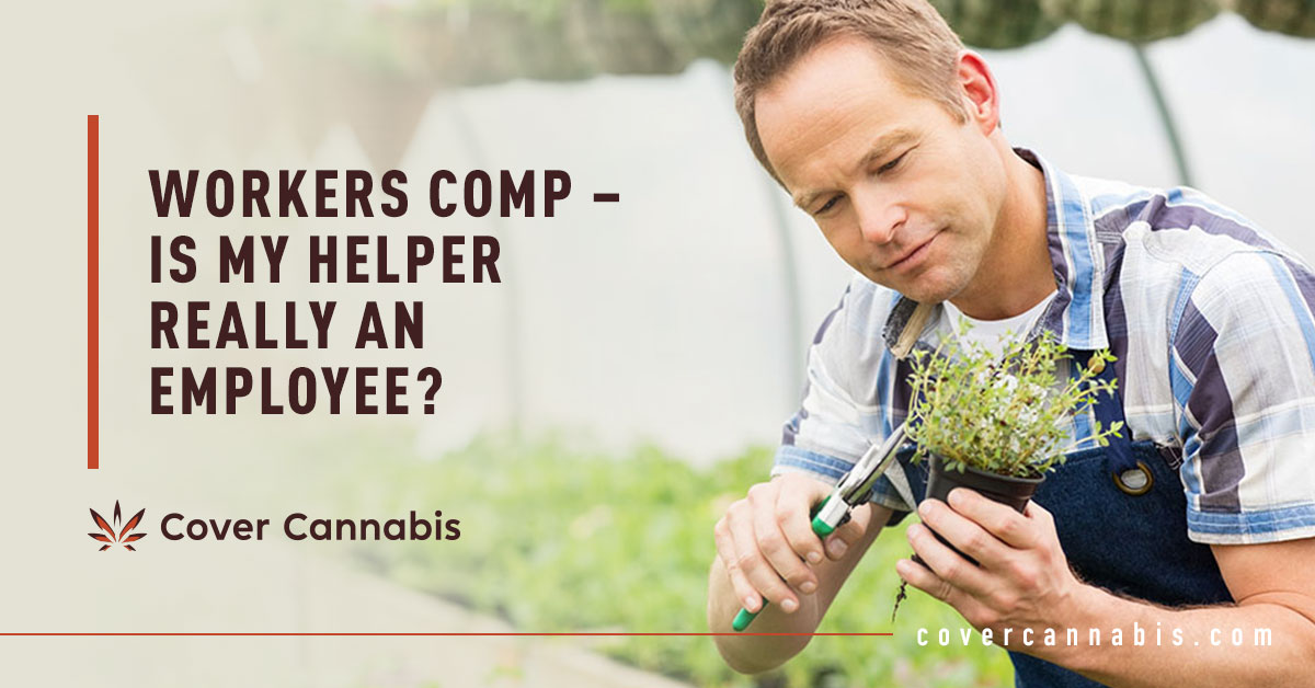Male Cannabis Helper - Banner Image for Workers Comp – Is My Helper Really an Employee Blog